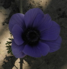 anemone purple(1) - A dream predicts your ability to trust in your own talents