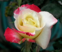 white red rose bud - Dreams that help you  grieve and reconcile with estranged family members